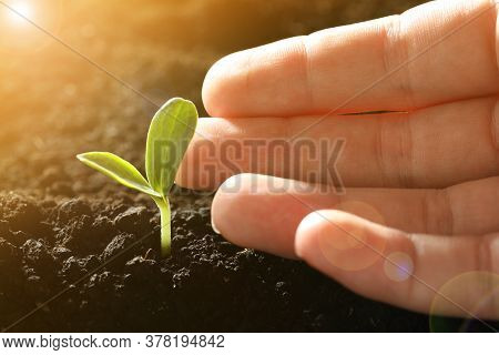 Woman With Young Vegetable Plant Grown From Seed In Soil, Closeup