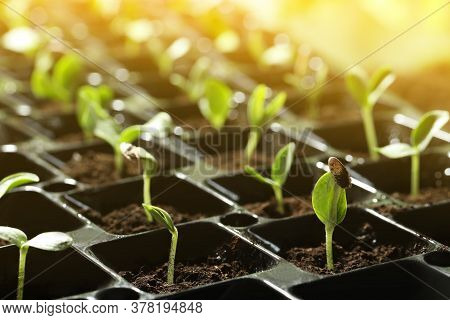 Plastic Tray With Young Vegetable Plants Grown From Seeds In Soil, Closeup