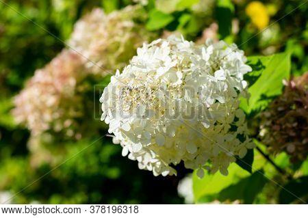 Hydrangea Paniculata White Flowers In Bright Sunlight Is Growing In The Garden. Hydrangea Bush