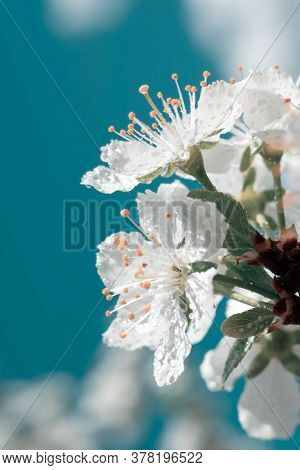 Vertical Light Blue Toned Macro Photography Of White Blossoming White Flowers With Pollen On Stamens