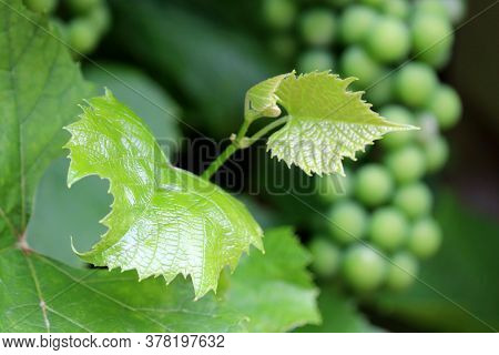 Vineyard In Summer, Young Leaves On Background Of Bunch Of Green Grape. Unripe Grapevine, Winemaking