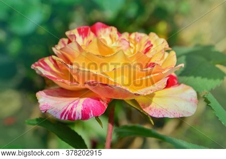 Striped Yellow And Red Unique Roses Known As Claud Monet