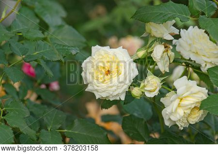 Bush Of Beautiful White Roses In A Garden
