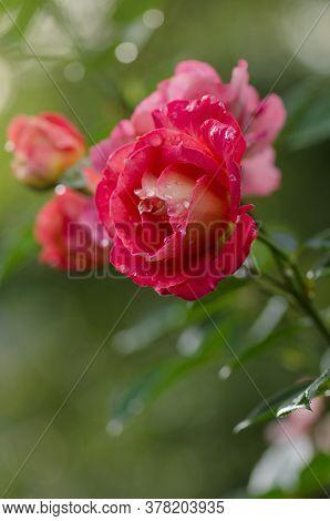 Red Flowering Rosa. Blooming Red Rose Iguana