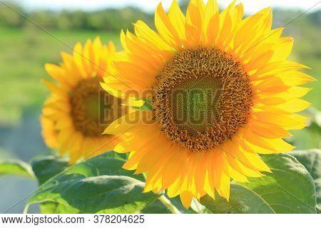Beautiful Sunflowers Blossom In The Field. Sunflower Nature Background. Sunflower Close Up. Sunflowe