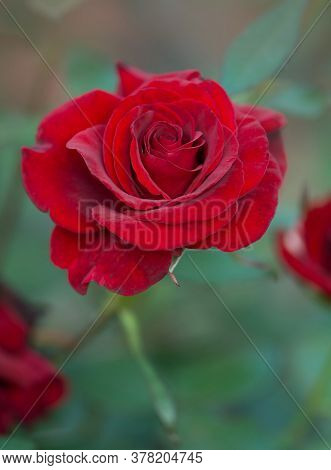 Red Rose Barkarole Blooming In Roses Garden