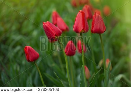 Red Tulips Blooming Close Up