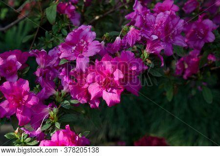 Azalea Flower Blooming On The Springtime In Park