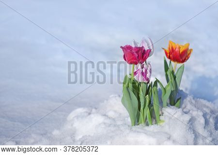 Tulip Growing Out Of Snow. Abnormal Weather Conditions In Spring