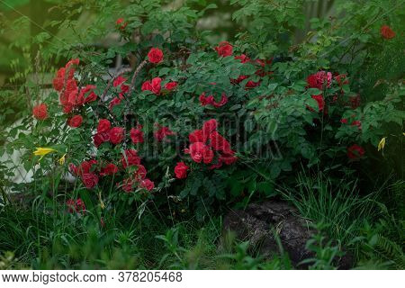 Red Color Roses In The Garden