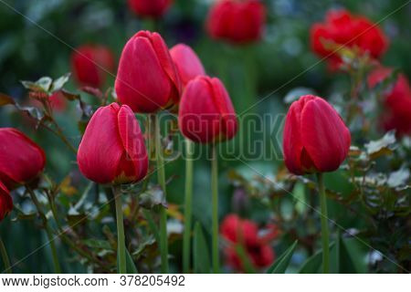 Red Color Tulips. Purple Spring Tulips Flowers