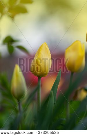 Tulips Yellow Growing In A Flower Bed. Spring Flowers Yellow Tulips