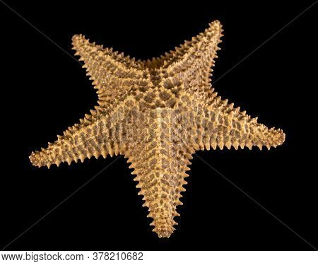 Brown Starfish Isolated On Black Background. Close-up. Top View