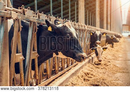 Farm Barn Or Cowshed With Milking Cows Eating Hay, Dairy Farm. Agriculture Industry, Feeding Of Live