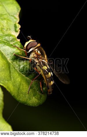 Migrant Hover-fly (eupeodes Corollae) At Rest On Leaf.