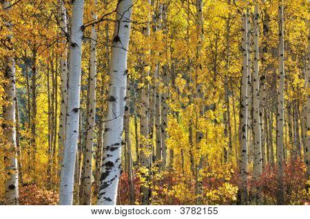 White Birch Trees In Autumn