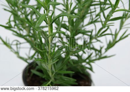 Rosemary Plant Growing In Pot Isolated On White Background. Rosemary Leaves Isolated On White Backgr
