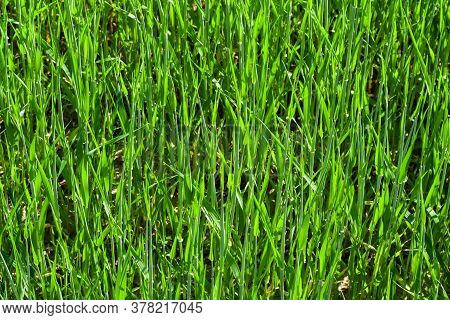Light Green Wheat Field Close-up. Wheat. Green Lawn. Corn. Sprouts. The Sun. Vivid Green Grass Lands