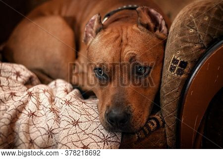 A Sad Looking Dog Is Looking Sideways. A Large Breed Dog Looks Sad And Lonely At Home. The House Has