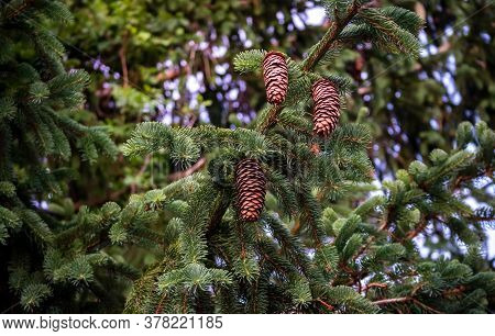 Young Growing Spruce Blossom On A Tip Of Branch Spring, Beautiful New Cones In Spruce. East Greenwic