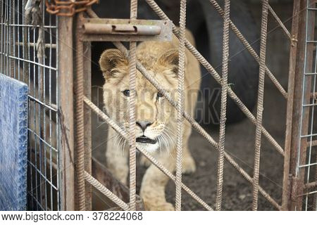 Lion Cub In A Cage. Wild Animal In The Aviary. A Predator In Captivity. The Lion Is Kept In The Zoo.