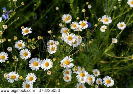 Beautiful Flowers Of Camomiles On Sunny Day In Nature Closeup. Daisy Flowers, Wildflowers Spring Day