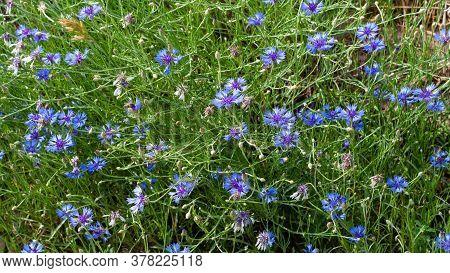 Blue Cornflowers On A Field In Russia. Summer Landscape On Nature With Blue Cornflower Field, Deskto