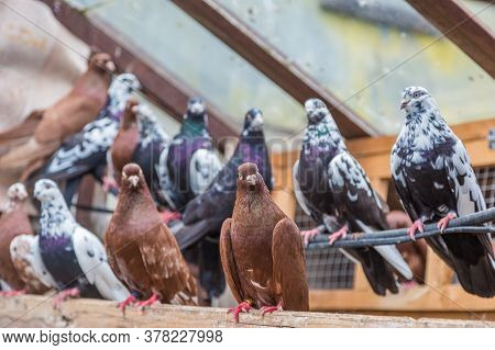 Group Of Homing Pigeons Resting In A Bird House