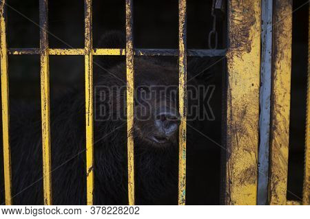 Bear In A Cage. Wild Beast In The Aviary. Keeping An Animal In The Zoo. Brown Bear In Captivity. The