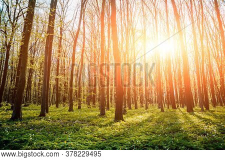 Rays Of Light In The Forrest. Background.
