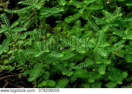 Phyllanthus Niruri Herb Plant And Other Name, Seed-under-leaf, Phyllanthus Amarus Schumach & Thonn,t