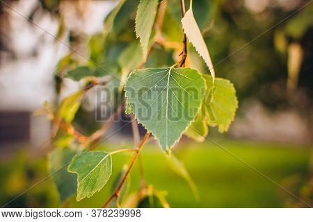 Branch Of Birch Tree Betula Pendula, Silver Birch, Warty Birch, European White Birch With Green Leav