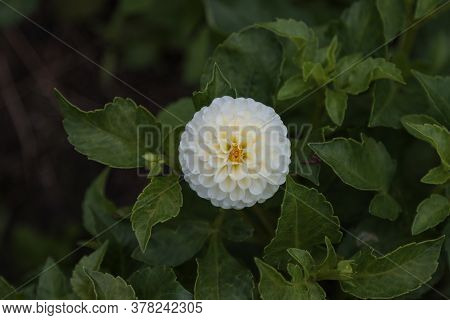 White Dahlia Flower With Green Leaves In The Garden.