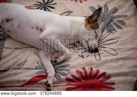Terrier Puppy Asleep On Bed With Alert Ear