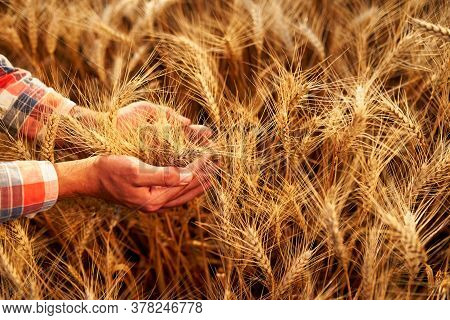 Farmer Holding Bunch Of Ripe Cultivated Wheat Ears In Hands. Agronomist In Flannel Shirt Examine Cer