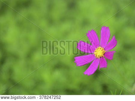 Red Flowers Of Cosmea Bipinnatus (cosmos Bipinnatus) In Verdure