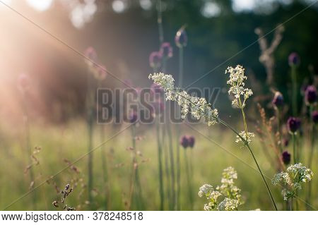 Blurred. Summer Green Meadow With Fluffy White Flowers Close-up In The Morning Sun. Background