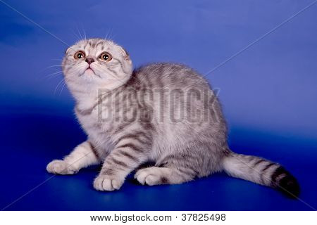 Scottish fold kitten on the blue background poster