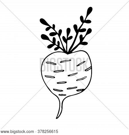 Vector Doodle Illustration Of Turnip. Hand Drawn Healthy Farm Vegetable Isolated On White Background
