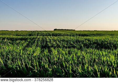 Corn Field. Corn Field On A Sunny Evening