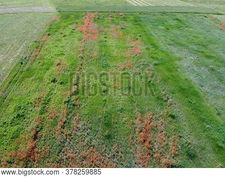 Red Poppies Grow On A Farm Field On A Sunny Day, Aerial View.