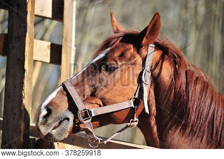 Brown Horse With Black Mane Of Long Standing Behind The White Fence, A Portrait In Profile, Brown Ey