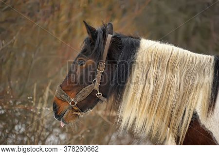 Beautiful Brown Horse With A White Mane