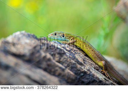Bright Green Lizard Sitting On Stone