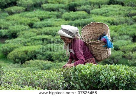 Women picks tea leafs