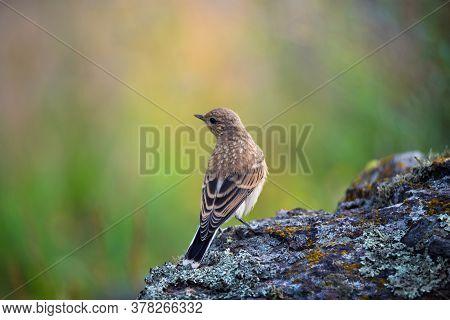 The Northern Wheatear, Wild Bird Sits On A Stone