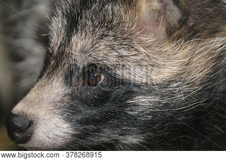 Raccoon Dogs Aren't Raccoons, Instead, They're Members Of The Canid (dog) Family.