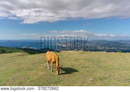 Cow In Top Of Sierra Da Groba, Galicia, With Landscape On Background