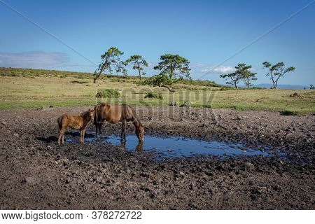 Family Of Wild Horses Drinking In Serra Da Groba, Baiona, Galicia