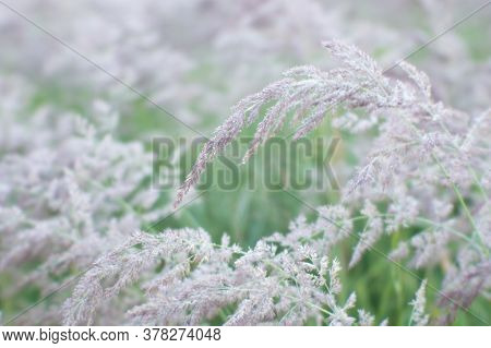 Blurs. Fluffy Beige Tassels Of The Ears Of Wild Grass In The Glowing Drops Of Dew And Light Haze. Ba
